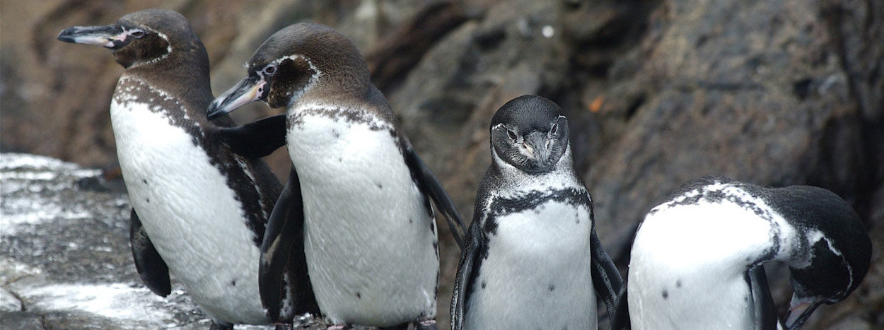 https://www.inkareisen.de/wp-content/uploads/2014/11/galapagos-pinguine-1-1250x467.jpg