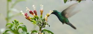 Kolibri Peru